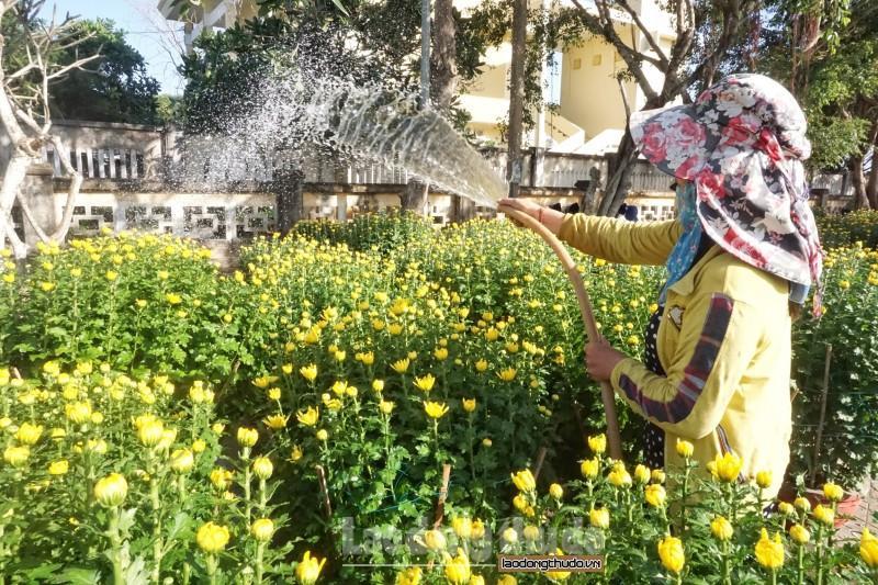 Cúc vàng tô thắm sắc xuân trên huyện đảo Lý Sơn Ảnh 6