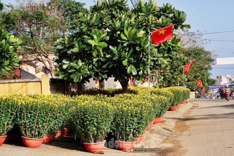 Cúc vàng tô thắm sắc xuân trên huyện đảo Lý Sơn Ảnh 1