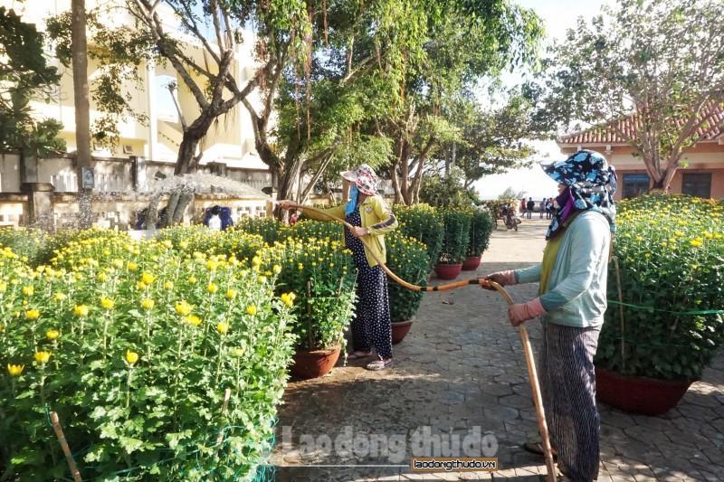 Cúc vàng tô thắm sắc xuân trên huyện đảo Lý Sơn Ảnh 3