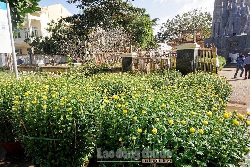 Cúc vàng tô thắm sắc xuân trên huyện đảo Lý Sơn Ảnh 2