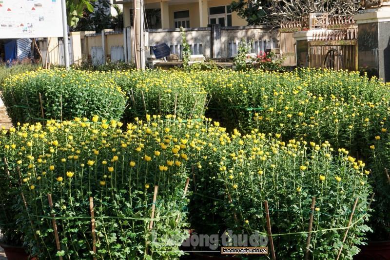 Cúc vàng tô thắm sắc xuân trên huyện đảo Lý Sơn Ảnh 7