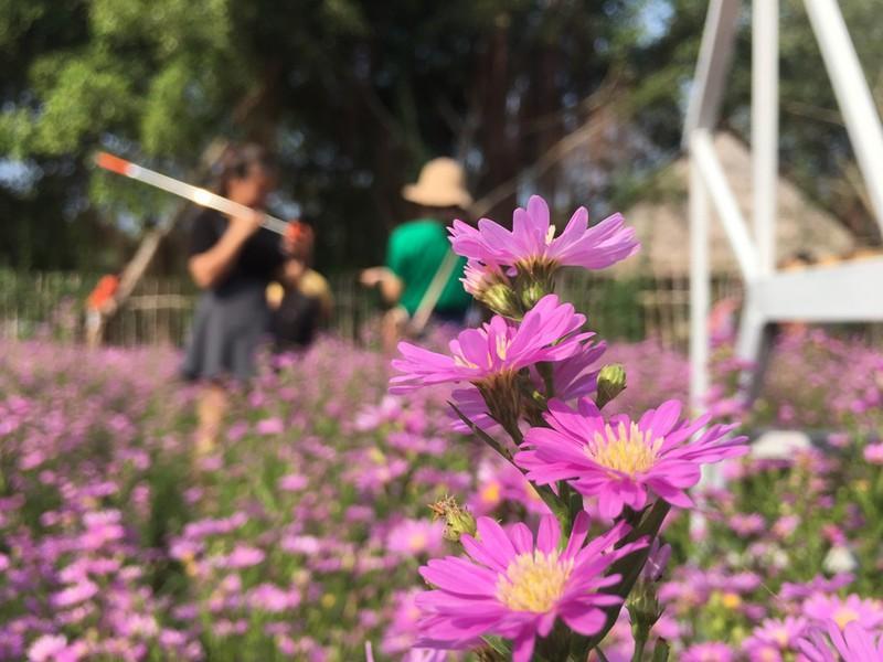 Ùn ùn 'check-in' vườn hoa thạch thảo ở Cần Thơ Ảnh 3