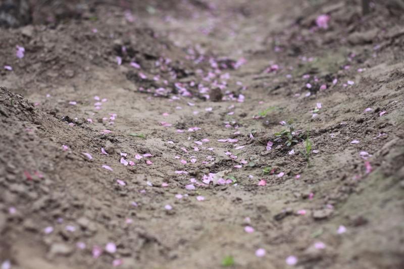 Làng đào Nhật Tân rực rỡ ngày giáp Tết Ảnh 6