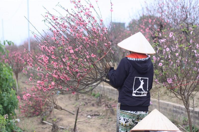 Làng đào Nhật Tân rực rỡ ngày giáp Tết Ảnh 7