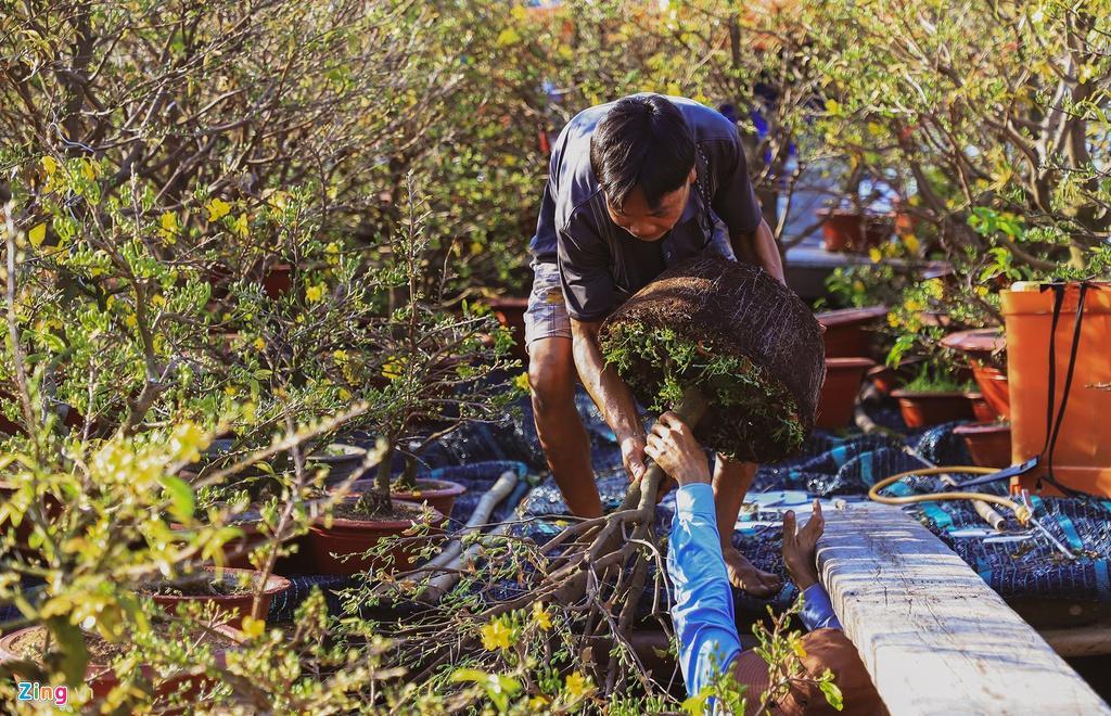 Đi ghe lên TP.HCM bán mai, quất, kiếm tiền triệu mỗi cây Ảnh 8