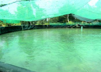 Khởi nghiệp nông nghiệp: Lãi to từ cách nuôi cá trong bể lót bạt Ảnh 2