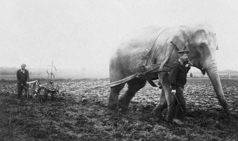 Những con voi đi cày thay trâu, ngựa trong Thế chiến thứ I Ảnh 1