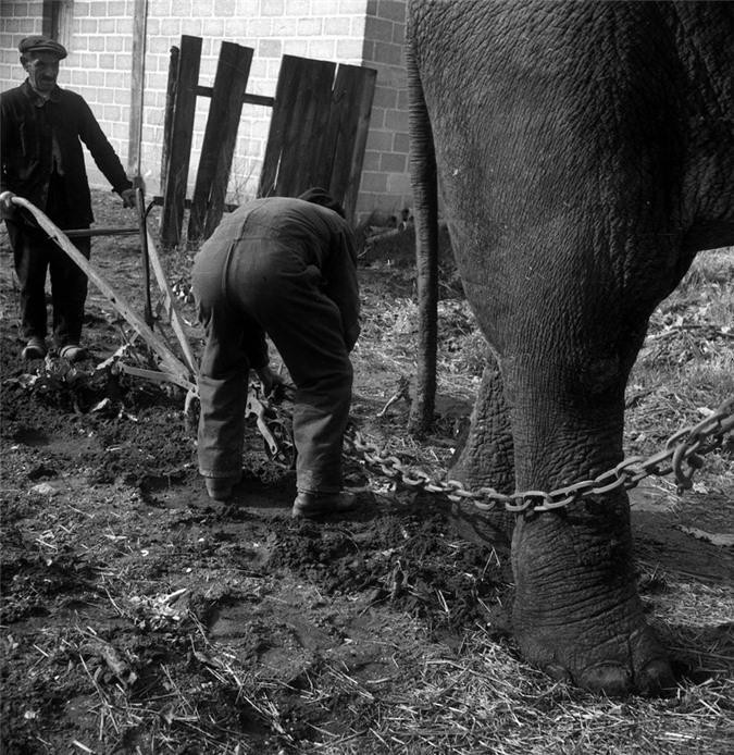 Những con voi đi cày thay trâu, ngựa trong Thế chiến thứ I Ảnh 6