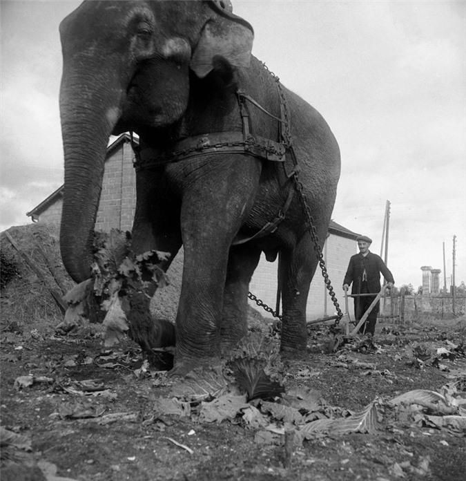 Những con voi đi cày thay trâu, ngựa trong Thế chiến thứ I Ảnh 3