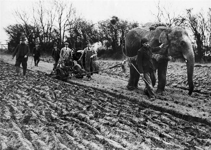 Những con voi đi cày thay trâu, ngựa trong Thế chiến thứ I Ảnh 2