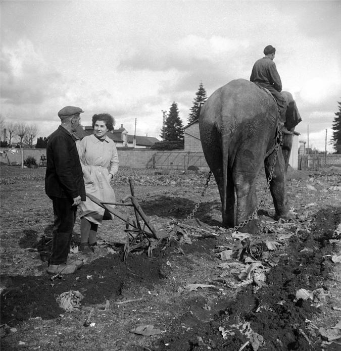 Những con voi đi cày thay trâu, ngựa trong Thế chiến thứ I Ảnh 5