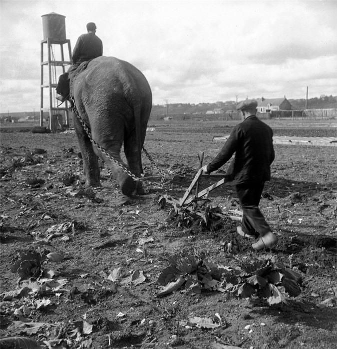 Những con voi đi cày thay trâu, ngựa trong Thế chiến thứ I Ảnh 4