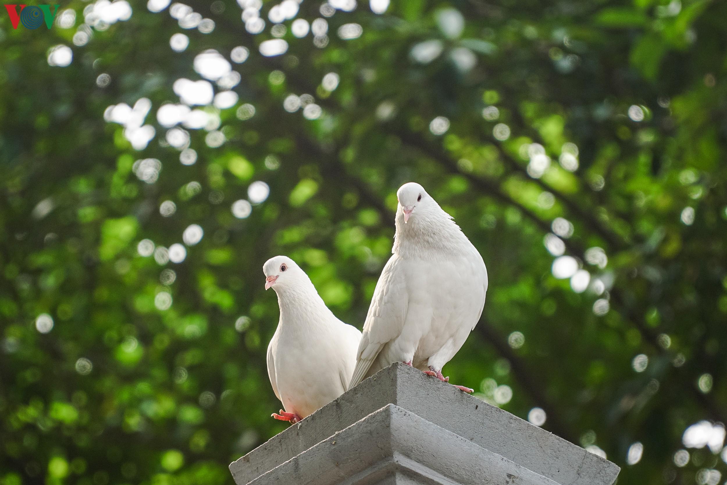 Ngắm đàn chim bồ câu bên hồ Hoàn Kiếm Ảnh 13