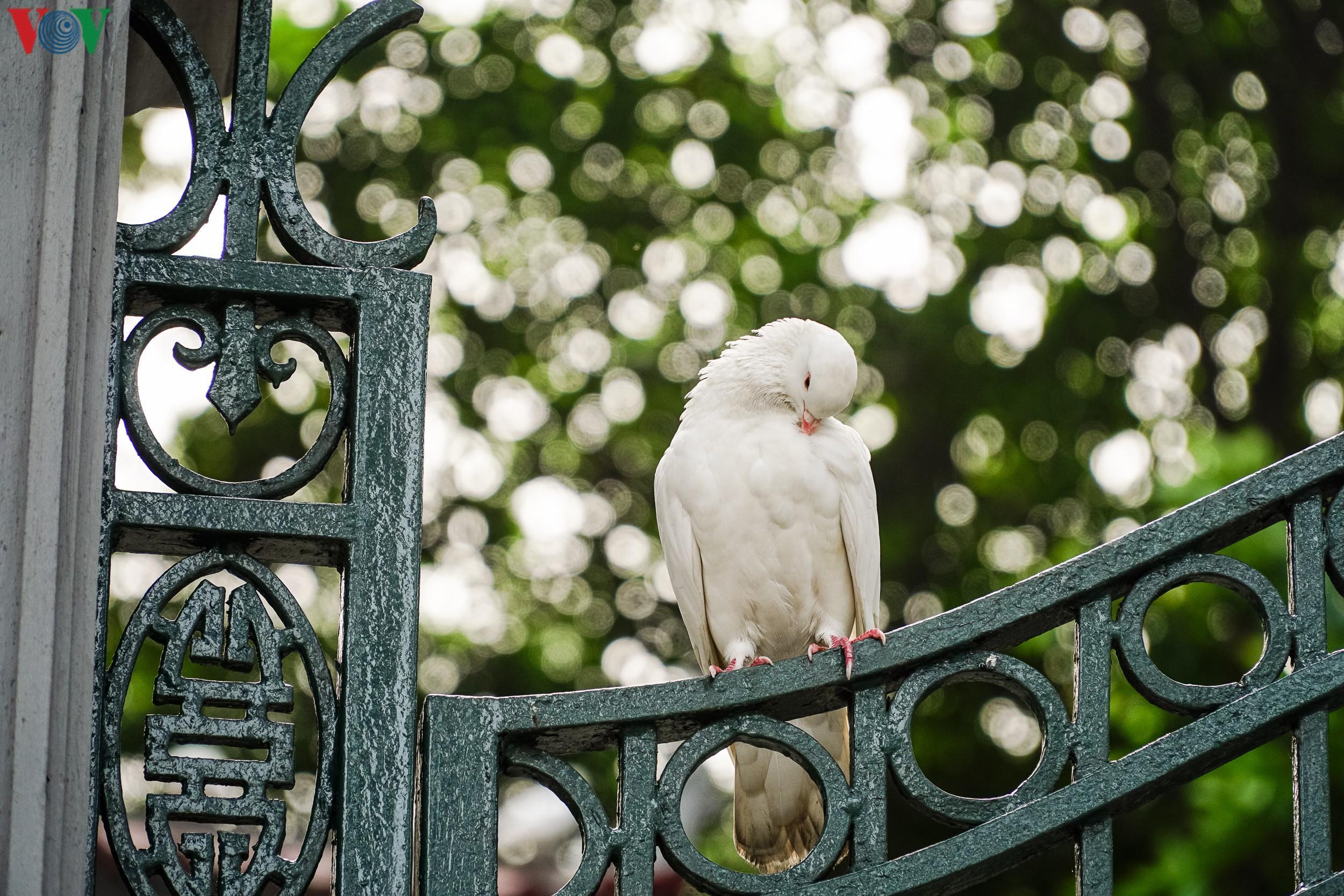 Ngắm đàn chim bồ câu bên hồ Hoàn Kiếm Ảnh 6