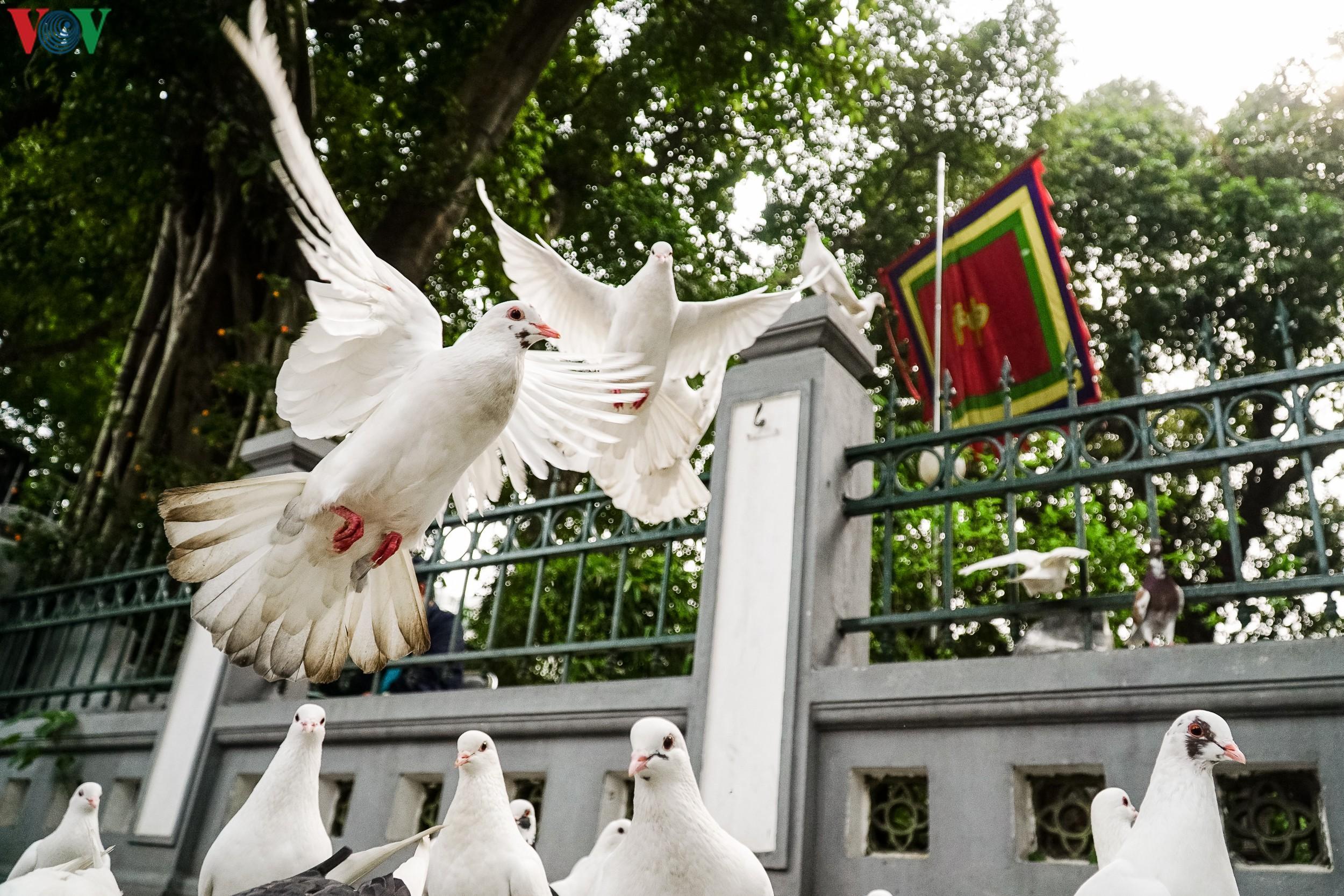 Ngắm đàn chim bồ câu bên hồ Hoàn Kiếm Ảnh 11