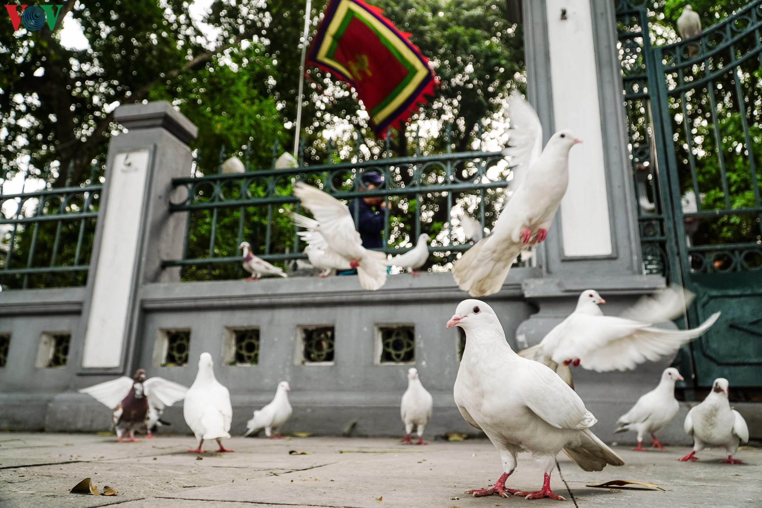 Ngắm đàn chim bồ câu bên hồ Hoàn Kiếm Ảnh 1