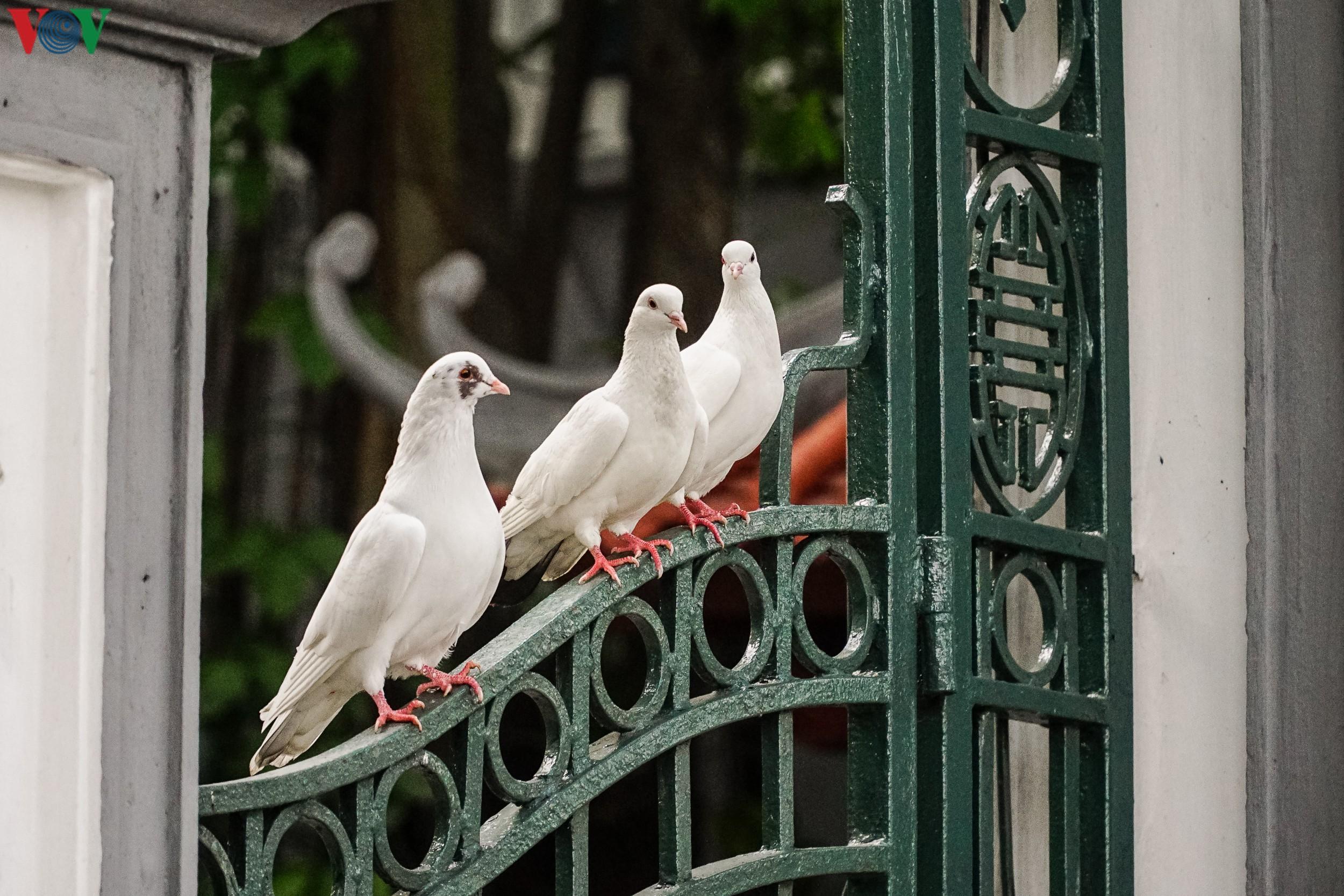 Ngắm đàn chim bồ câu bên hồ Hoàn Kiếm Ảnh 5