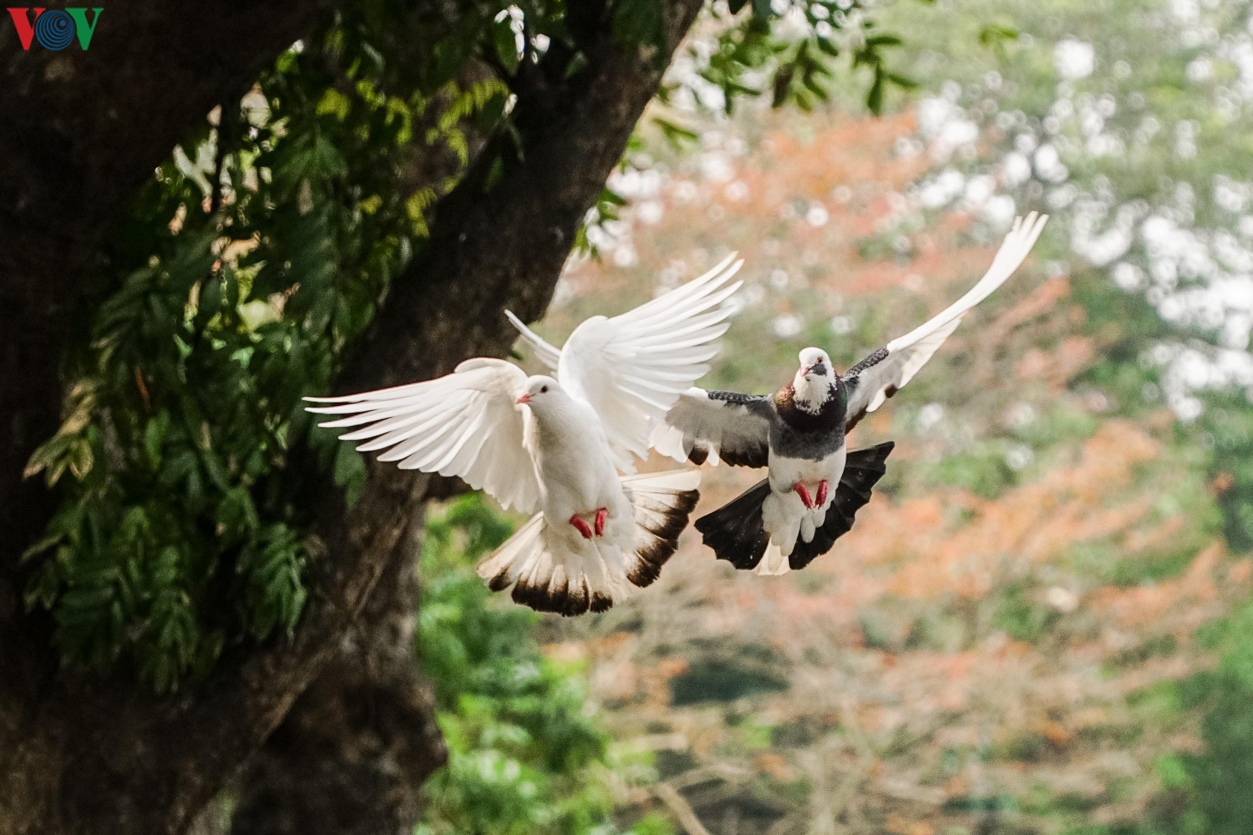 Ngắm đàn chim bồ câu bên hồ Hoàn Kiếm Ảnh 3