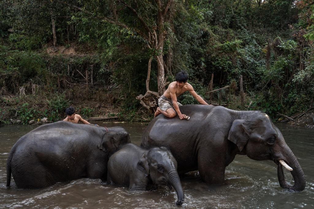 'Thất nghiệp', voi Thái Lan đi bộ từ khu du lịch về quê Ảnh 7
