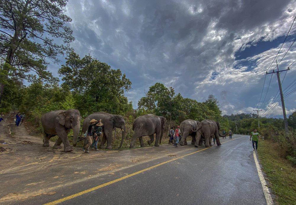 'Thất nghiệp', voi Thái Lan đi bộ từ khu du lịch về quê Ảnh 2