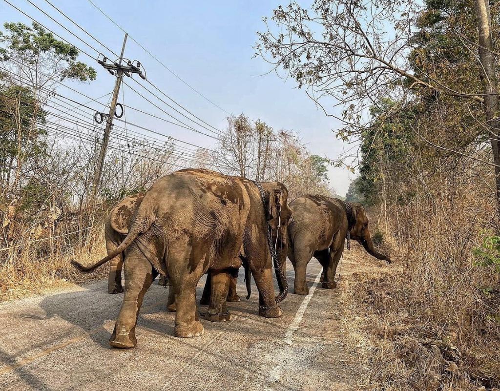 'Thất nghiệp', voi Thái Lan đi bộ từ khu du lịch về quê Ảnh 8