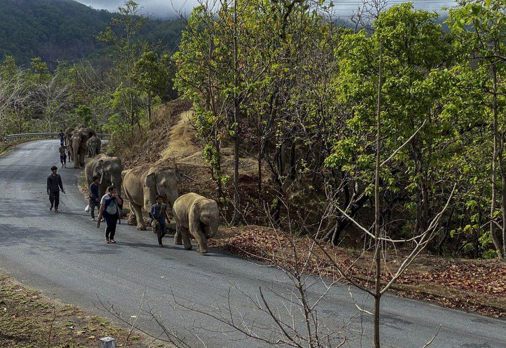 'Thất nghiệp', voi Thái Lan đi bộ từ khu du lịch về quê Ảnh 6