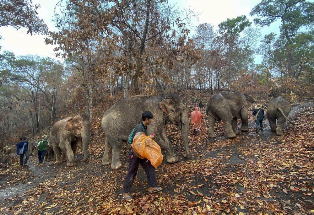 'Thất nghiệp', voi Thái Lan đi bộ từ khu du lịch về quê Ảnh 3