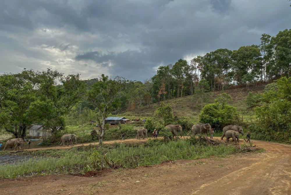 'Thất nghiệp', voi Thái Lan đi bộ từ khu du lịch về quê Ảnh 5