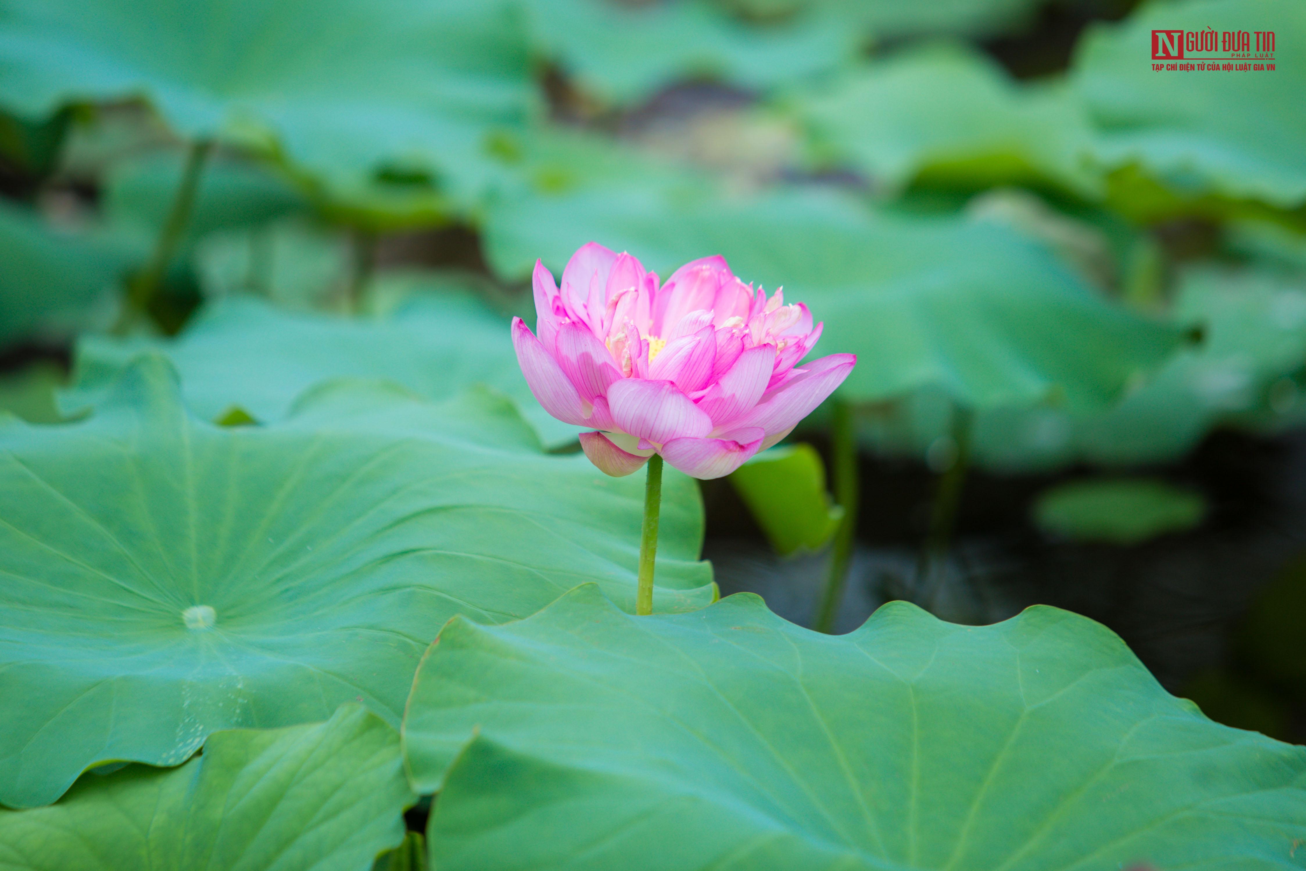 Hoa sen đầu mùa rong ruổi khắp phố phường Hà Nội Ảnh 11