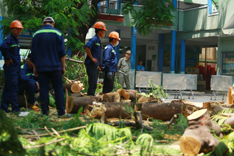 Cận cảnh gốc phượng vĩ mục ruỗng đổ gãy đè 13 học sinh thương vong ở Sài Gòn Ảnh 2