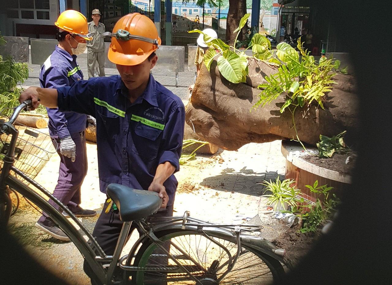 Cận cảnh gốc phượng vĩ mục ruỗng đổ gãy đè 13 học sinh thương vong ở Sài Gòn Ảnh 9