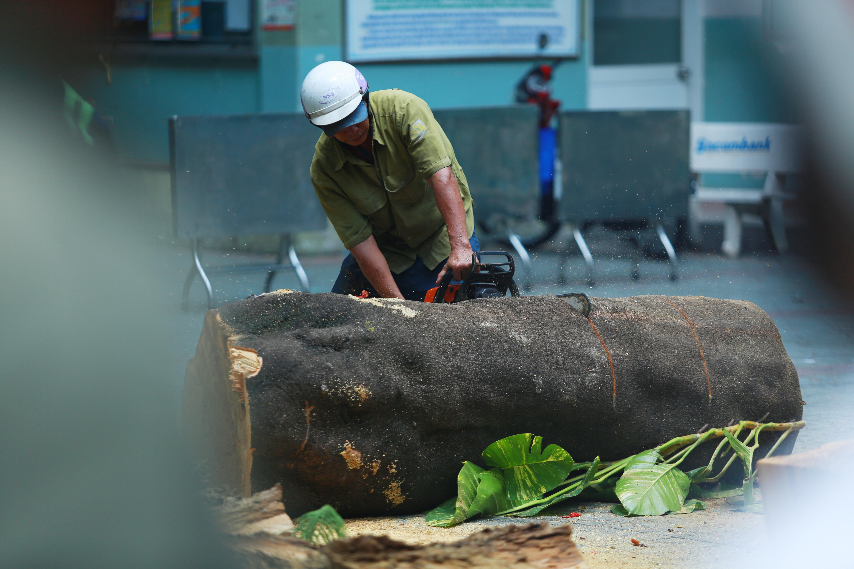 Cận cảnh gốc phượng vĩ mục ruỗng đổ gãy đè 13 học sinh thương vong ở Sài Gòn Ảnh 4