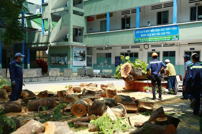Cận cảnh gốc phượng vĩ mục ruỗng đổ gãy đè 13 học sinh thương vong ở Sài Gòn Ảnh 6