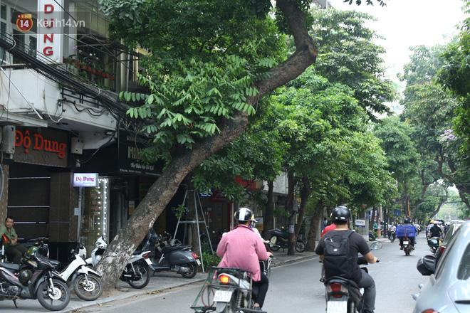 Cận cảnh hàng loạt cây xanh mục gốc, ngả hướng ra giữa đường ở Hà Nội Ảnh 6