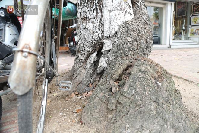 Cận cảnh hàng loạt cây xanh mục gốc, ngả hướng ra giữa đường ở Hà Nội Ảnh 16