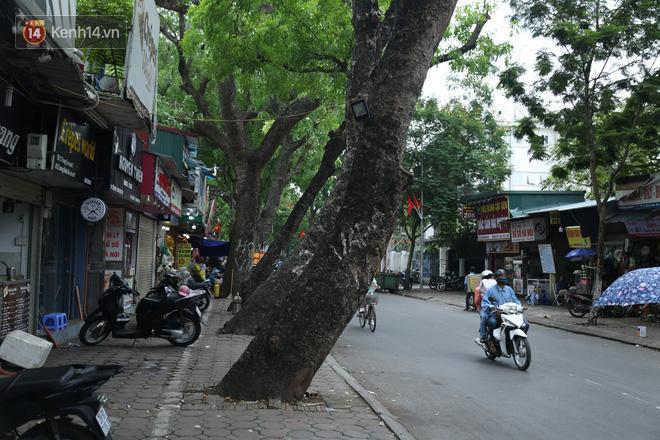 Cận cảnh hàng loạt cây xanh mục gốc, ngả hướng ra giữa đường ở Hà Nội Ảnh 9