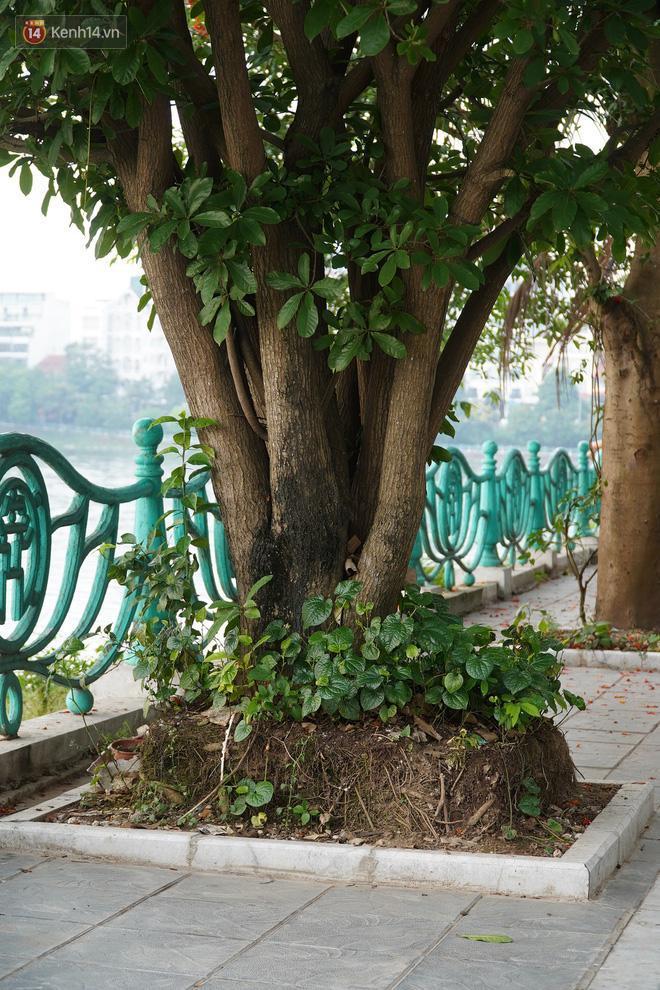 Cận cảnh hàng loạt cây xanh mục gốc, ngả hướng ra giữa đường ở Hà Nội Ảnh 10
