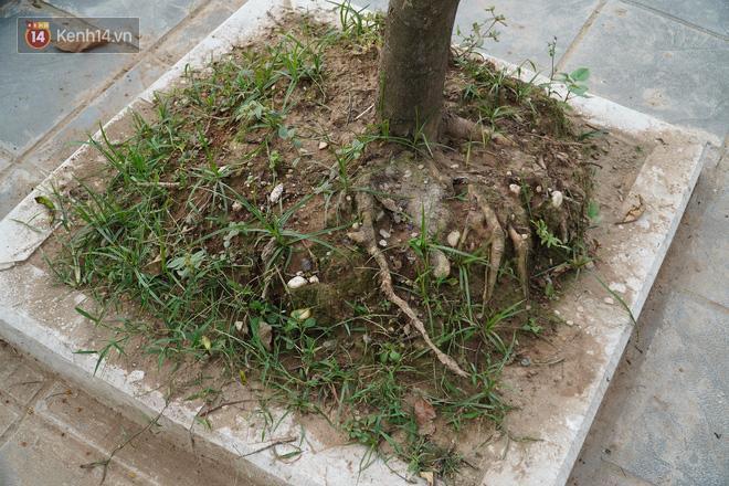 Cận cảnh hàng loạt cây xanh mục gốc, ngả hướng ra giữa đường ở Hà Nội Ảnh 12