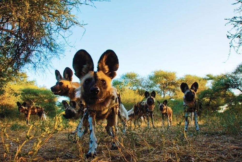 Những Sự Thật ít Ai Biết Về Chó Hoang Châu Phi Báo Kiến Thức