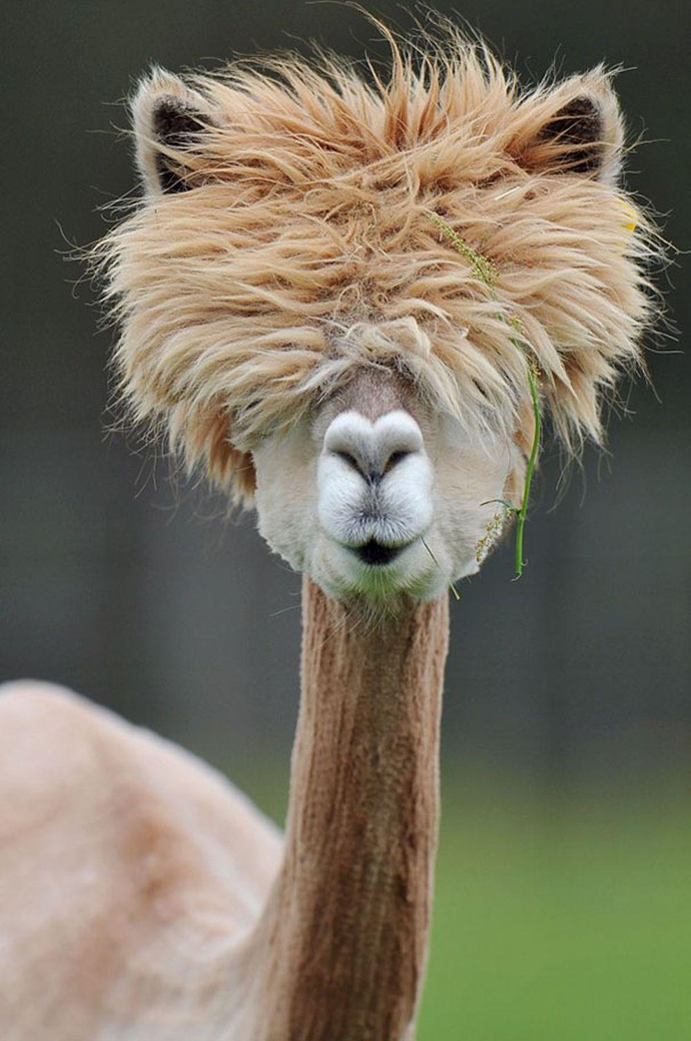 Được đánh giá là một trong những loài động vật đáng yêu nhất thế giới, lạc  đà Alpaca thường xuyên có những pha tạo dáng chụp ảnh hài hước, vui nhộn.