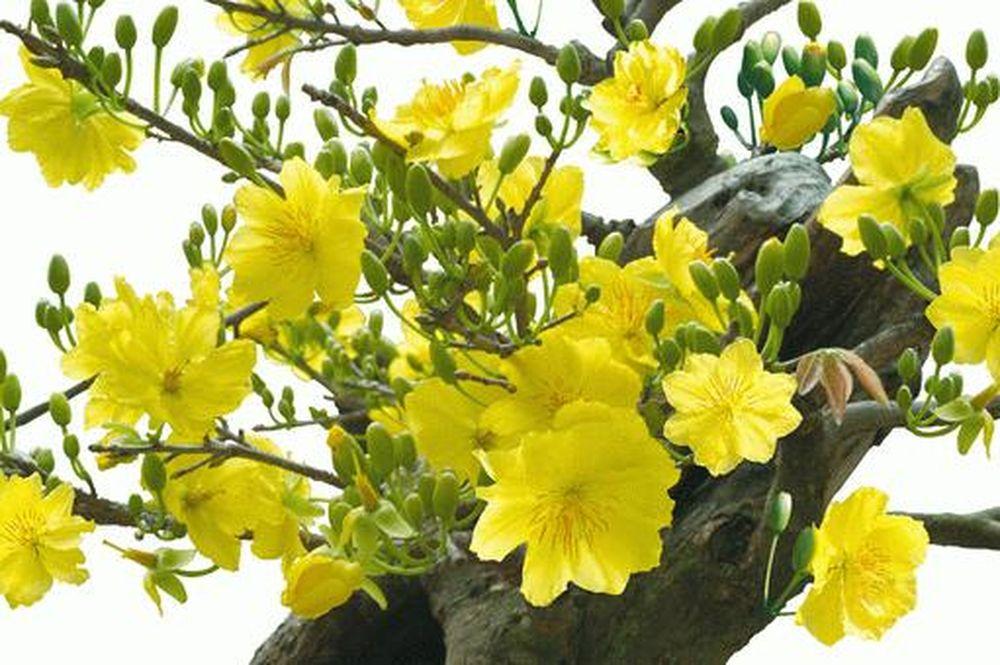 Kết quả hình ảnh cho kinh nghiệm chăm sóc hoa mai cho ngày tết.