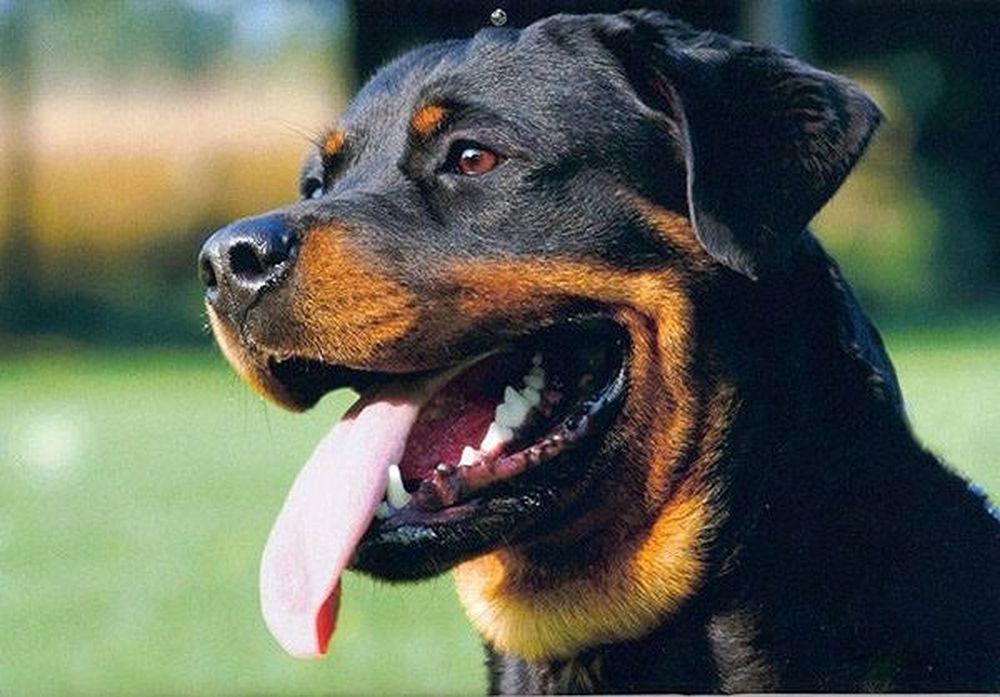 Những Cái Nhất Về Các Loài Chó Trên Thế Giới Báo Nghệ An
