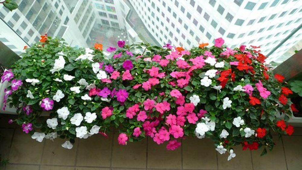 Hoa dừa cạn - Bộ sưu tập hình ảnh hoa dừa cạn tuyệt đẹp