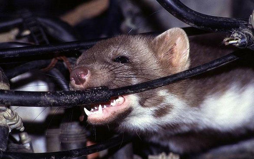 Làm thế nào để chống chuột phá hoại ô tô hiệu quả? - Báo Người Đưa Tin