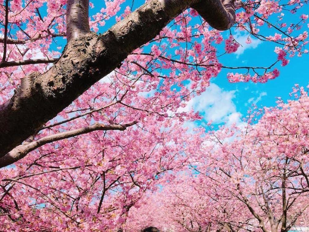Kết quả hình ảnh cho hoa anh đào nở sớm Kawazu zakura