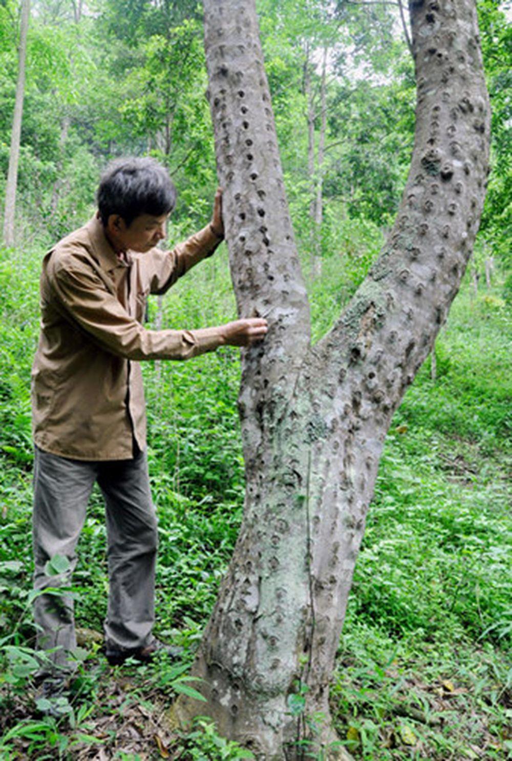 Image result for cây trầm hương