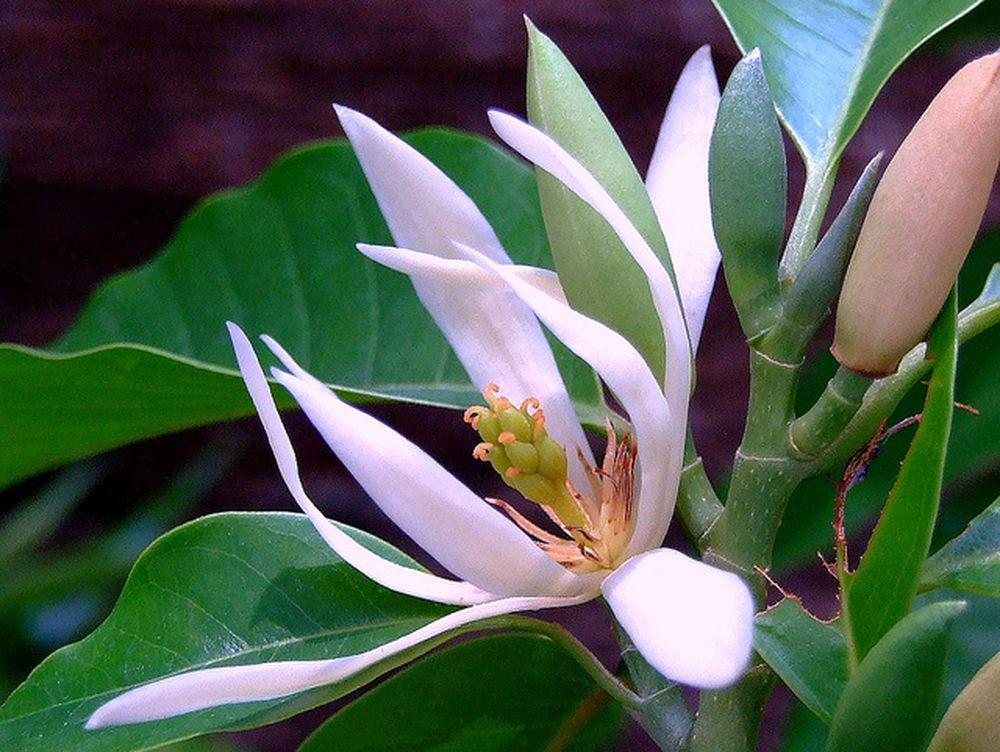 Kết quả hình ảnh cho cây ngọc lan