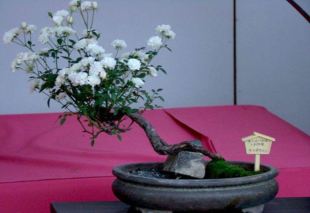 Man Nhan Những Chậu Bonsai Hoa Sieu đẹp Chơi Tết Bao Kiến Thức