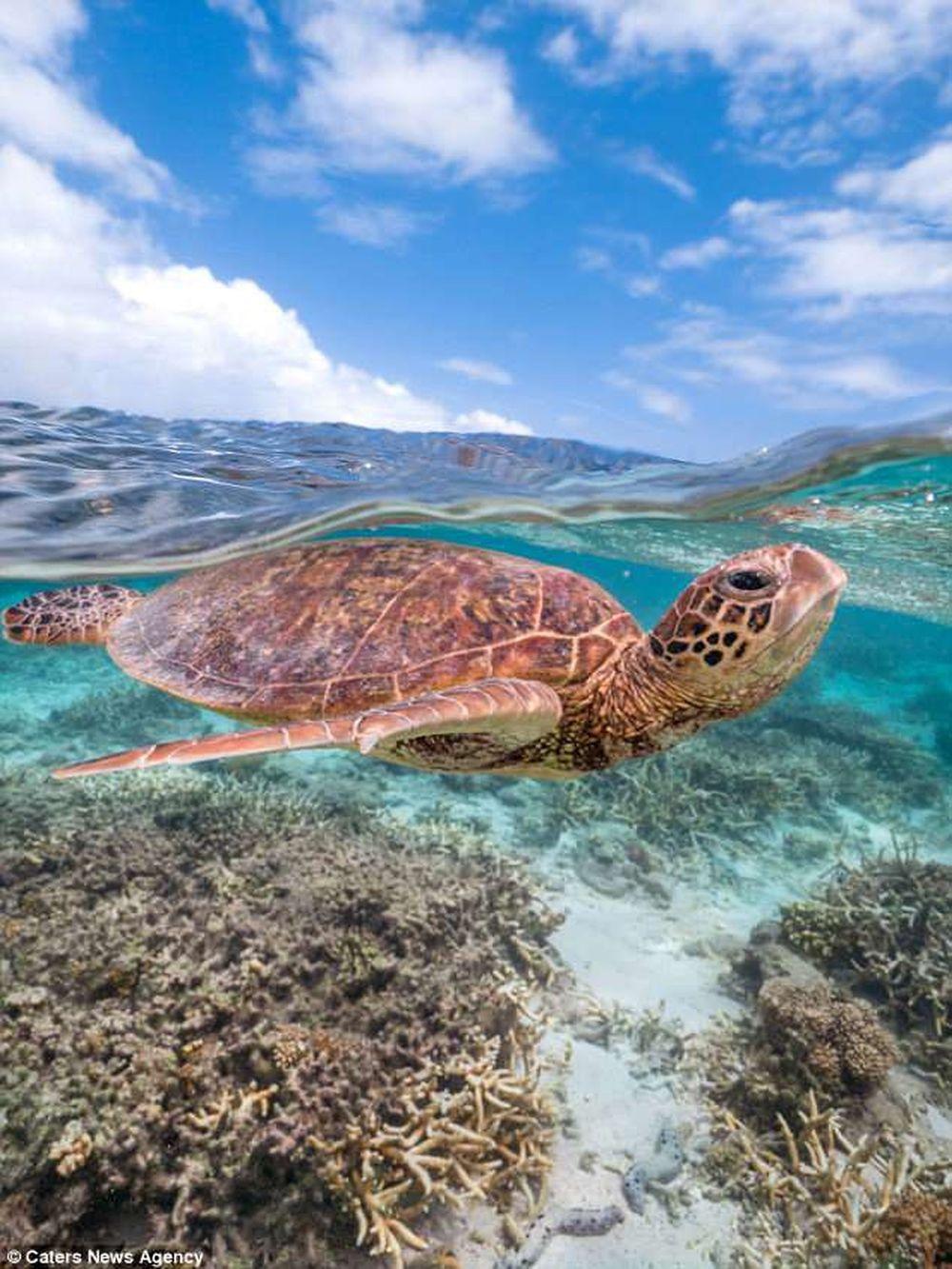 Cảm thấy vô cùng thú vị, Mark đã nhanh tay chụp lại hình ảnh này. Anh cũng nói thêm rằng, con rùa biển thô lỗ đã bơi theo anh một đoạn đường ...