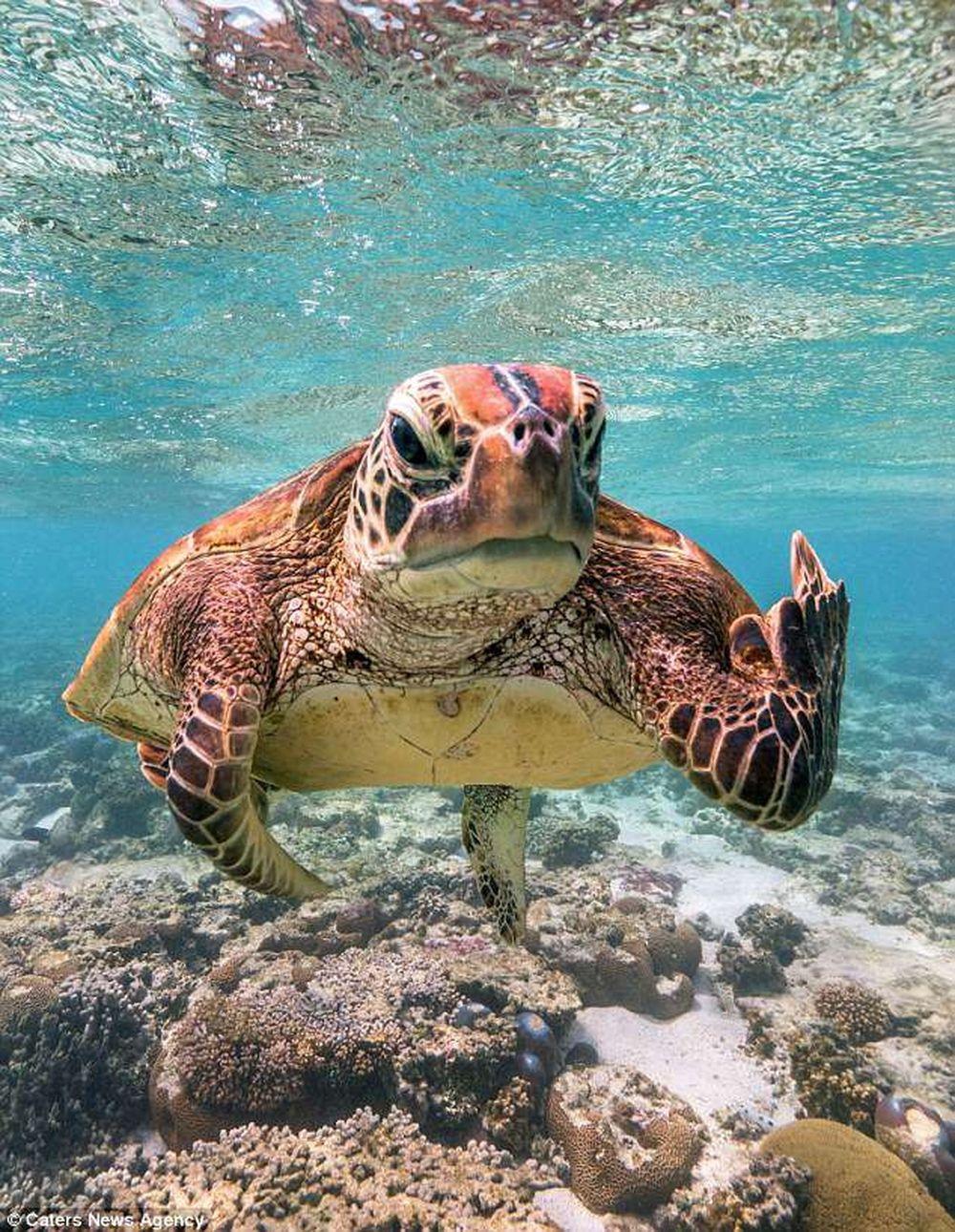 Theo chia sẻ của Mark, khi anh đang mải mê ngắm và chụp lại hình ảnh của một dải san hô khá đẹp, đột nhiên một con rùa biển bơi đến và ...